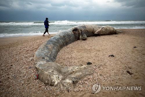 해변서 발견된 17m 고래 사체 폐에서 `시꺼먼 액체`